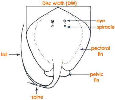 parts of a fish (stingray) Stingray Internal Diagram